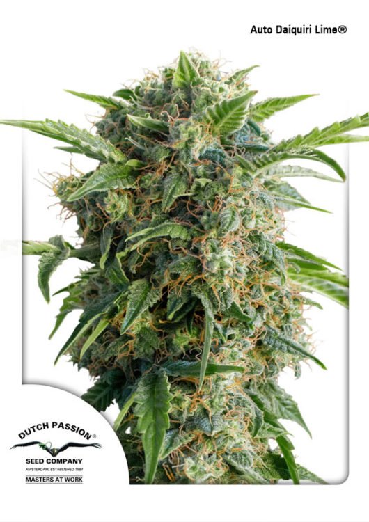 Auto Daiquiri Lime Feminizowane, Nasiona Marihuany, Konopi, Cannabis