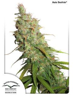 Auto Desfran Feminizowane, Nasiona Marihuany, Konopi, Cannabis