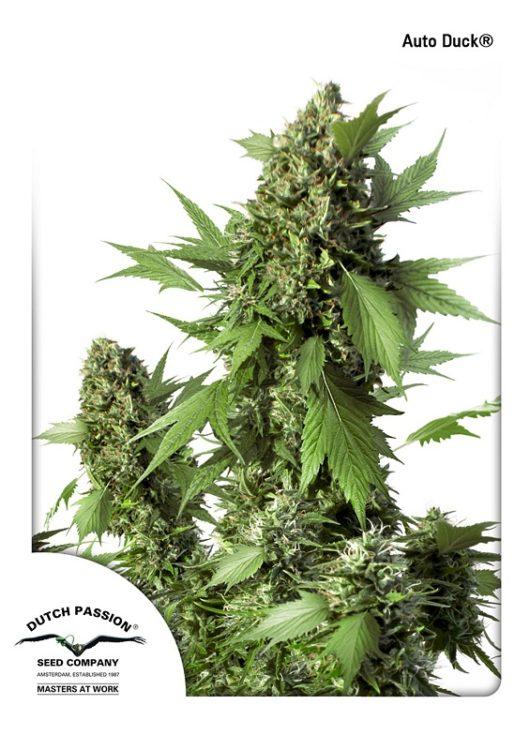 Auto Duck Feminizowane, Nasiona Marihuany, Konopi, Cannabis