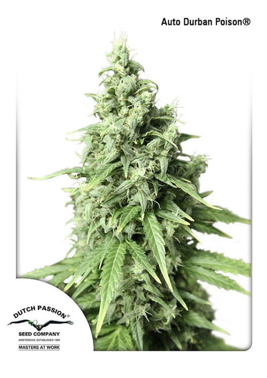 Auto Durban Poison Feminizowane, Nasiona Marihuany, Konopi, Cannabis