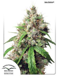 Auto Euforia Feminizowane, Nasiona Marihuany, Konopi, Cannabis