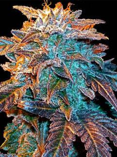 Auto Gelato Feminizowane, Nasiona Marihuany, Konopi, Cannabis