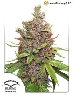Auto Glueberry O.G. Feminizowane, Nasiona Marihuany, Konopi, Cannabis