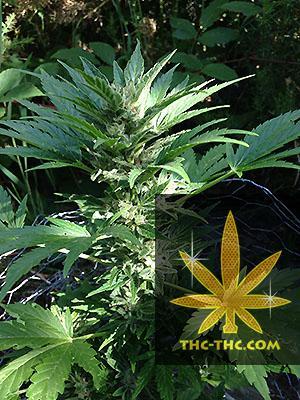 Auto Haze Feminizowane, Nasiona Marihuany, Konopi, Cannabis