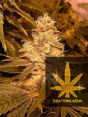 Auto Kush Feminizowane, Nasiona Marihuany, Konopi, Cannabis