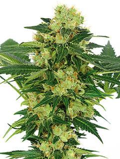 Auto Lowryder#2 Feminizowane, Nasiona Marihuany, Konopi, Cannabis