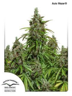 Auto Mazar Feminizowane, Nasiona Marihuany, Konopi, Cannabis