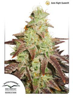 Auto Night Queen Feminizowane, Nasiona Marihuany, Konopi, Cannabis