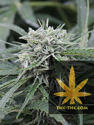 Auto NL Feminizowane, Nasiona Marihuany, Konopi, Cannabis