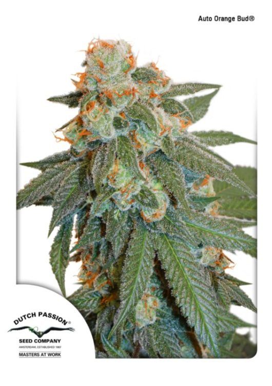 Auto Orange Bud Feminizowane, Nasiona Marihuany, Konopi, Cannabis
