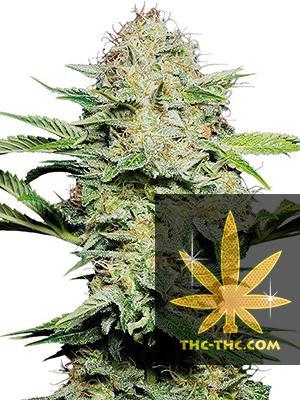 Auto Pilot XL Feminizowane, Nasiona Marihuany, Konopi, Cannabis