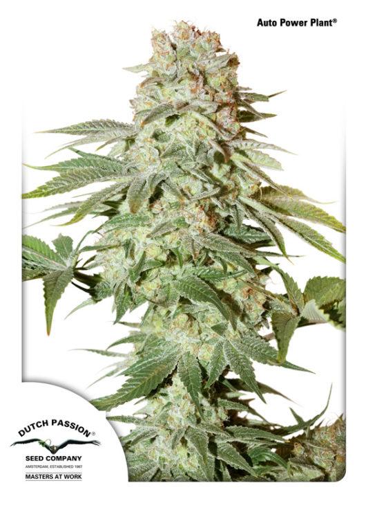 Auto Power Plant Feminizowane, Nasiona Marihuany, Konopi, Cannabis