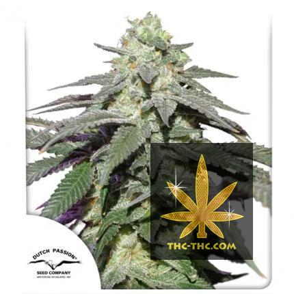 Auto Skywalker Haze Feminizowane, Nasiona Marihuany, Konopi, Cannabis