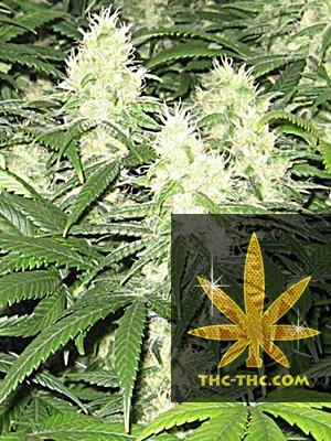 Auto Speed Bud Feminizowane, Nasiona Marihuany, Konopi, Cannabis