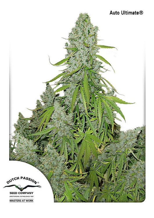 Auto Ultimate Feminizowane, Nasiona Marihuany, Konopi, Cannabis