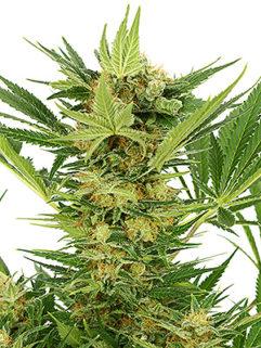 Auto White Russian Feminizowane, Nasiona Marihuany, Konopi, Cannabis