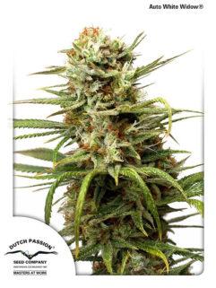 Auto White Widow Feminizowane, Nasiona Marihuany, Konopi, Cannabis