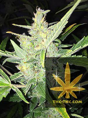 Auto White Widow x Big Bud Feminizowane, Nasiona Marihuany, Konopi, Cannabis