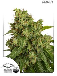 Auto Xtreme Feminizowane, Nasiona Marihuany, Konopi, Cannabis