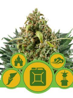 Autoflowering Mix Feminizowane - Royal Queen Seeds, Nasiona Marihuany, Konopi, Cannabis