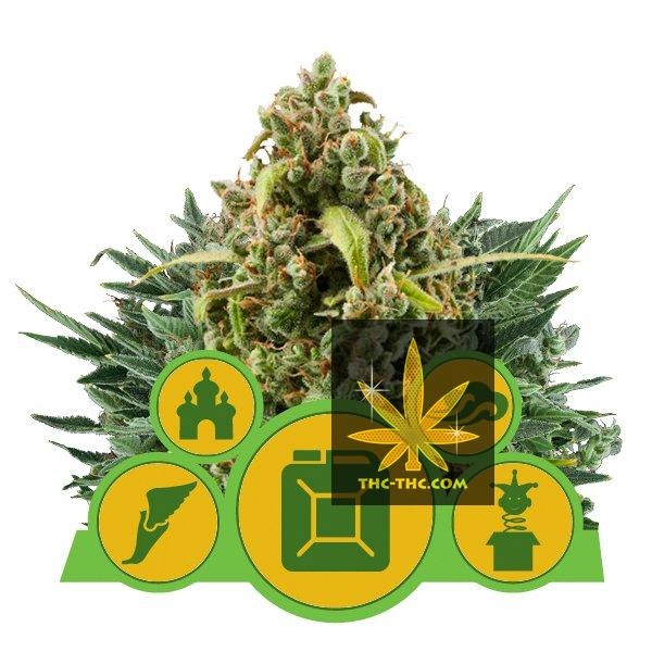 Autoflowering Mix Feminizowane 3szt - Royal Queen Seeds