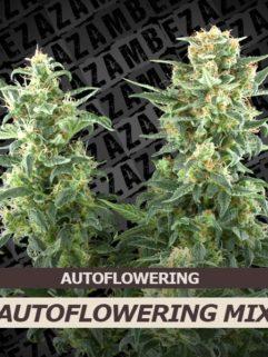 Autoflowering Mix Feminizowane 10szt - Zambeza Seeds, Nasiona Marihuany, Konopi, Cannabis