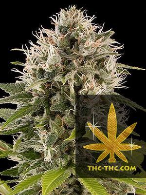 AutoPassion Feminizowane, Nasiona Marihuany, Konopi, Cannabis