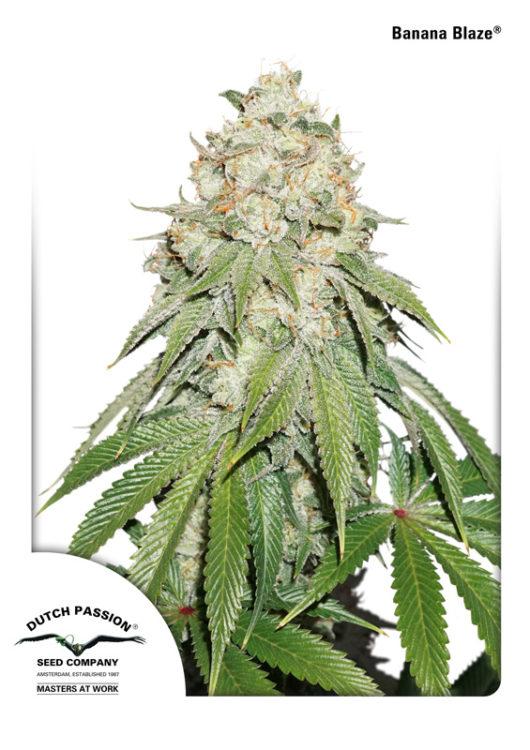 Banana Blaze Feminizowane, Nasiona Marihuany, Konopi, Cannabis