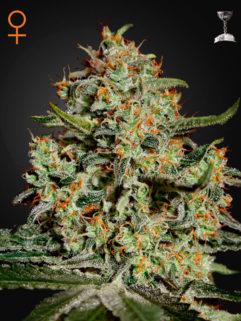 Big Bang Feminizowane, Nasiona Marihuany, Konopi, Cannabis