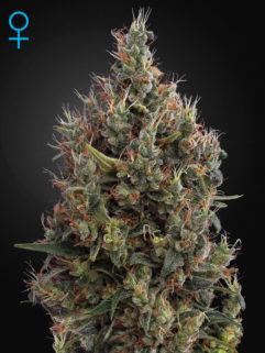 Big Bang Automatic Feminizowane, Nasiona Marihuany, Konopi, Cannabis