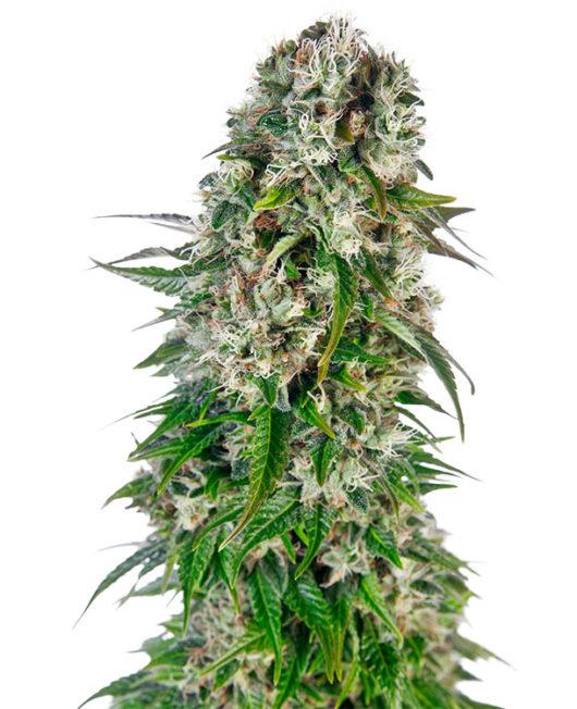 Big Bud Automatic Feminizowane, Nasiona Marihuany, Konopi, Cannabis