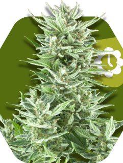 Big Bud XXL Automatic Feminizowane, Nasiona Marihuany, Konopi, Cannabis
