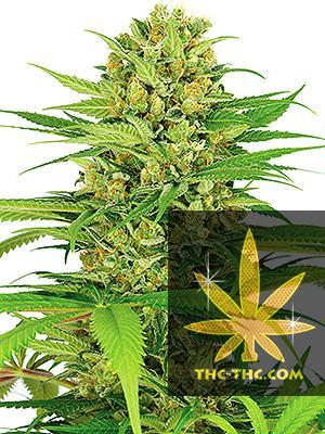 Big Bud Feminizowane, Nasiona Marihuany, Konopi, Cannabis