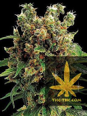 Big Devil XXL Automatic Feminizowane, Nasiona Marihuany, Konopi, Cannabis
