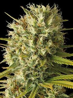 Big Poison Feminizowane, Nasiona Marihuany, Konopi, Cannabis