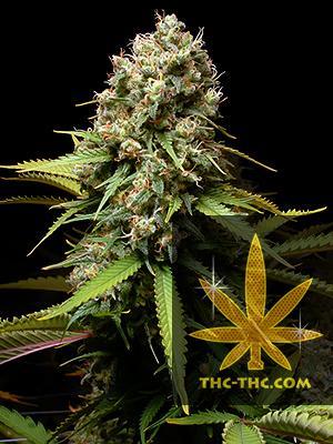 Big Poison Automatic Feminizowane, Nasiona Marihuany, Konopi, Cannabis