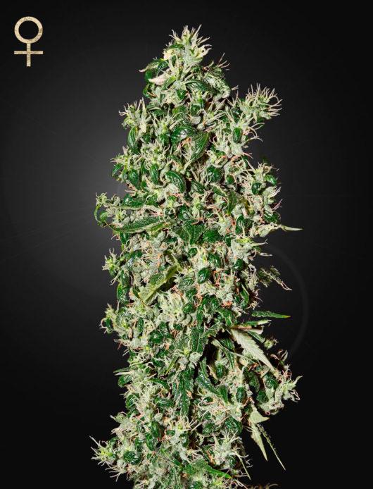 Big Tooth Feminizowane, Nasiona Marihuany, Konopi, Cannabis