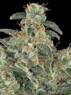 Big White Widow Feminizowane, Nasiona Marihuany, Konopi, Cannabis