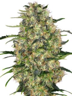 Black Domina Feminizowane, Nasiona Marihuany, Konopi, Cannabis