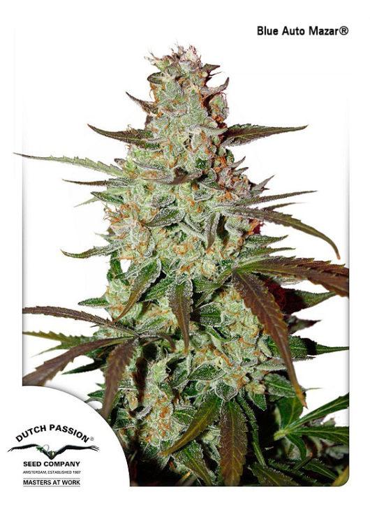 Blue Auto Mazar Feminizowane, Nasiona Marihuany, Konopi, Cannabis