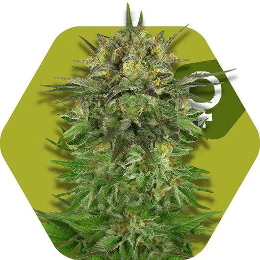 Blue Brilliant Feminizowane, Nasiona Marihuany, Konopi, Cannabis