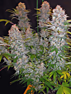 Blue Cheese Feminizowane, Nasiona Marihuany, Konopi, Cannabis