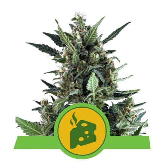 Blue Cheese Automatic Feminizowane, Nasiona Marihuany, Konopi, Cannabis