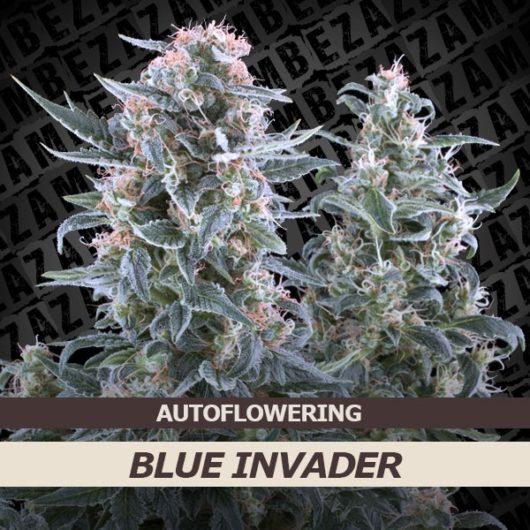 Blue Invader Automatic Feminizowane, Nasiona Marihuany, Konopi, Cannabis