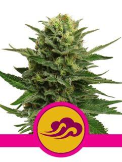 Blue Mystic Feminizowane, Nasiona Marihuany, Konopi, Cannabis