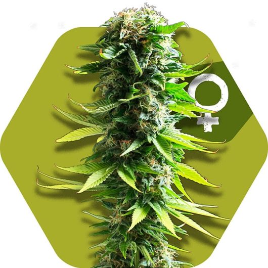 Blue Spider Feminizowane, Nasiona Marihuany, Konopi, Cannabis