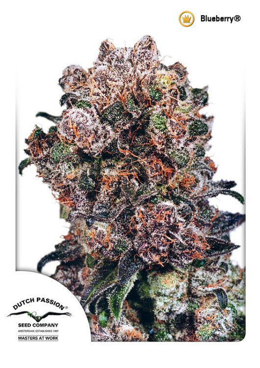 Blueberry Regularne, Nasiona Marihuany, Konopi, Cannabis