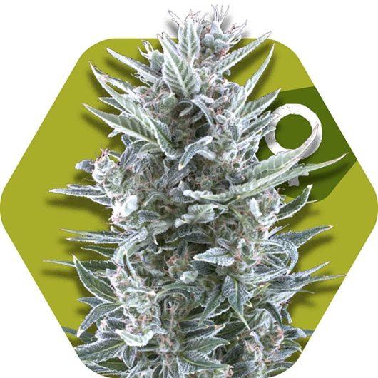 Blueberry Feminizowane, Nasiona Marihuany, Konopi, Cannabis