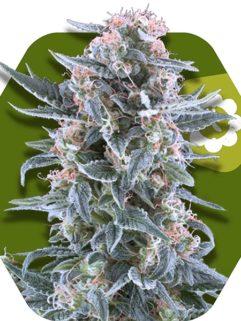 Blueberry Automatic Feminizowane, Nasiona Marihuany, Konopi, Cannabis
