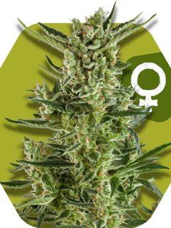 Blueberry Cheese Feminizowane, Nasiona Marihuany, Konopi, Cannabis